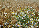 Field and chamomile — Stock Photo