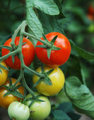 Tomatoes 1 — Stock Photo