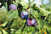 Plums on the tree 1 — Stock Photo