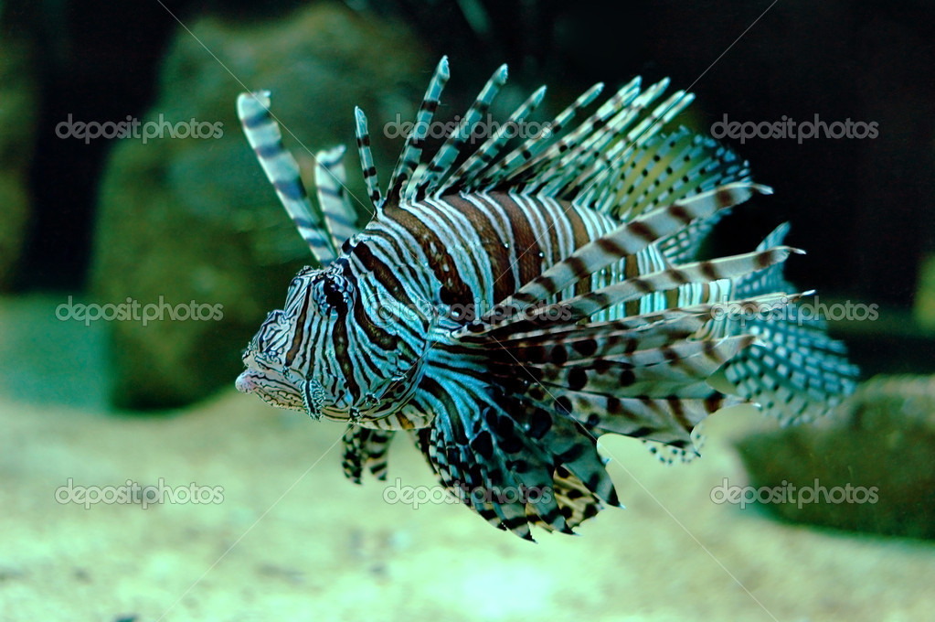 Pompano - Lionfish in the aquarium — Stock Photo #2244638