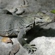 Lizard 2 - Stock Photo