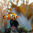ocellaris clownfish — Stock Photo