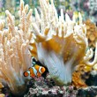 Royalty-Free Stock Photo: Ocellaris clownfish 2
