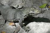 Lizard 2 — Stock Photo