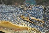 Krokodil 2 — Stockfoto