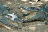 Crocodiles 2 — Stock Photo