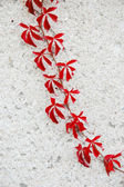 Ivy — Stock Photo