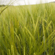 Barley field — Stock Photo #2235555