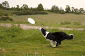 Dog catching disc — Stock Photo