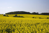 Field with colza — Stock Photo