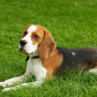 Beagle — Stock Photo #2229098