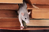 Rat in library — Stock Photo