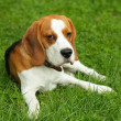 Beagle — Stock Photo #2260161