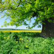 Stock Photo: Old oak