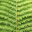 Fern — Stock Photo #2361711