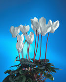 White cyclamen — Stock Photo