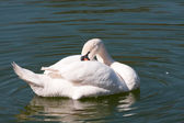 Swan, bird, — Stock Photo