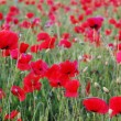 Summer field with red poppies — Stock Photo