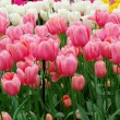Dutch tulips in a garden — Stock Photo