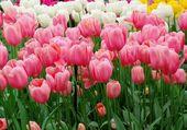 Dutch tulips in a garden — Stock Photo
