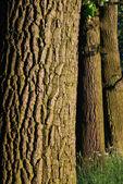Oak tree bark pattern — Stock Photo