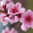 Cherry spring pink blossom — Stock Photo