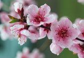 Cherry spring pink blossom — Stock Photo