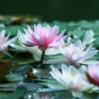 Water lily — Stock Photo #2232153