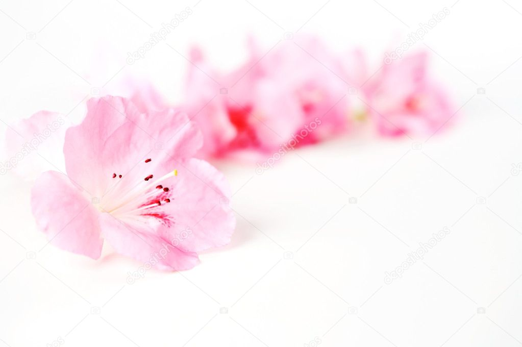 Fresh spring pink flowers on white background — Stock Photo #2636550