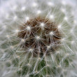 Wind Dandelion — Stock Photo