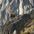 Old Capra Ibex - Stock Photo