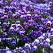 Violet Viola Flowers — Stock Photo