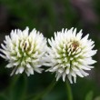 White Clover (trifolium repens) - Stock Photo