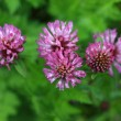 Stock Photo: Red Clover - Trifolium Pratense