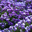 Violet ViolFlowers — Stock Photo #2457790