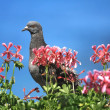Pigeon in front of a blue sky — Stock Photo