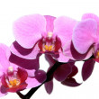 Stock Photo: Violet Orchid Phalaenopsis