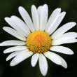 Stock Photo: Marguerite Flower
