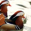 Stock Photo: Two Mandarin Ducks