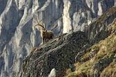 Old Capra Ibex — Stock Photo