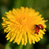 Ladybug on a Yellow Flower — Stok fotoğraf