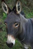 Portret van een donkere ezel — Stockfoto