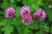 Red Clover - Trifolium Pratense — Stock Photo