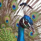 Peacock — Stock Photo