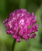 Red clover (trifolium pratense) — Stock Photo