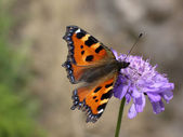 Butterfly (aglais urticae) — Stock Photo