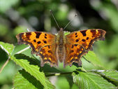 Butterfly (polygonium c-album) — Stock Photo