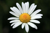Marguerite Flower — Stock Photo