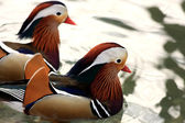 Two Mandarin Ducks — Stock Photo