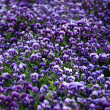 Stock Photo: Violet ViolFlowers